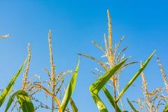 Maispflanze-Spitzen-Makrodetail Sunny Blue Sky Lizenzfreie Stockbilder