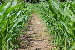 Maispflanzen Stockfotografie