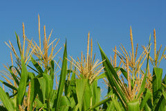 Maispflanzen Lizenzfreie Stockfotos