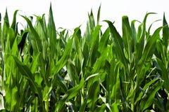 Maispflanzen Stockbild