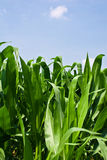 Maispflanzen Lizenzfreies Stockbild