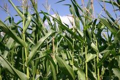 Maispflanzen Lizenzfreie Stockfotografie