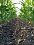 Maispflanzen Stockfoto
