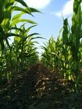 Maispflanzen in der Linie Lizenzfreie Stockbilder
