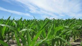 Maispflanzen, die im Wind durchbrennen stock video footage