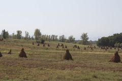 Maispflanzen mit Pfeilern auf dem Gebiet nach landwirtschaftlichem Feld der Ernte mit Mais Stockfotografie