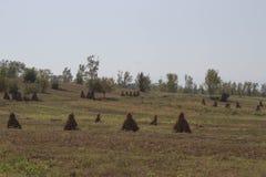 Maispflanzen mit Pfeilern auf dem Gebiet nach landwirtschaftlichem Feld der Ernte mit Mais Lizenzfreie Stockfotografie