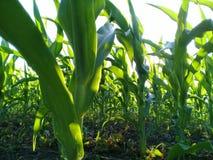 Maispflanzen vom Abschluss Lizenzfreies Stockbild