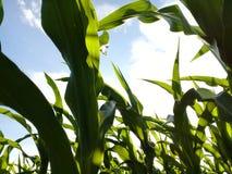 Maispflanzen vom Boden bis zum Himmel Stockbilder