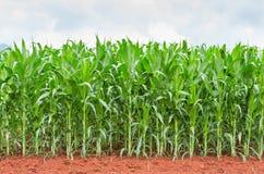 Maisplantage in Thailand Lizenzfreie Stockbilder