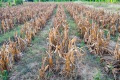Maisplantagentrockenes verwelkt Lizenzfreies Stockfoto