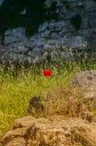 Maisrose, die auf einem alten Stein wächst Stockfoto