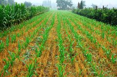 Maissämlinge 7 Lizenzfreies Stockbild