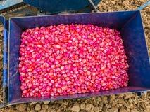 Maissamen chemisch behandelt lizenzfreies stockfoto