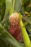 Maisseiden Lizenzfreies Stockbild