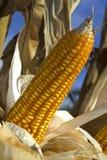 Maisstartwert für zufallsgenerator Stockfoto