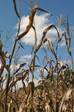 Maisstiele gegen einen blauen Himmel Lizenzfreie Stockfotos