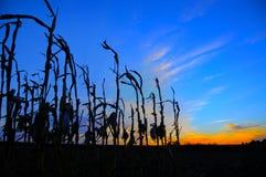 Maisstiele silhouettiert am Sonnenuntergang Stockfotos
