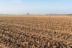 Maisstoppeln im Lehmboden Stockbilder