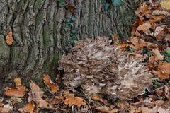 Maitake mushroom Royalty Free Stock Images