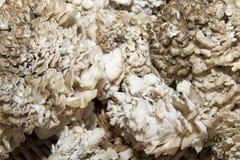 Maitake Mushrooms Royalty Free Stock Photography