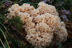 Maitake mushrooms Stock Photography