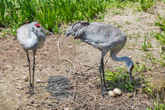 Mated pair of Sandhill cranes with eggs Stock Photo