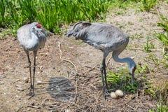 Maitedpaar Sandhill-kranen met eieren Stock Foto