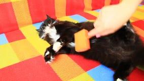 Maitresse die haar kat kammen Het behandelen van binnenlands huisdier stock videobeelden