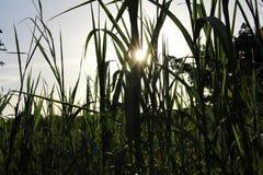 Maiz field close to Leon Nicaragua stock photo