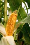 maize Arkivbilder