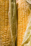 Maize Stock Photo