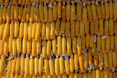 maize royaltyfri bild