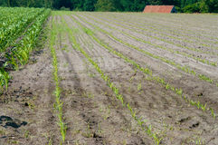 Maize. Young maize just popping out of the earth. On the left the maize is planted some weeks earlier Royalty Free Stock Photos