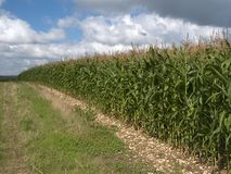 Maize. Field of maize crops stock photo