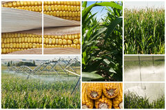 Maize. Stock Photography