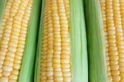 Maize. Background of fresh sweet maize Stock Image