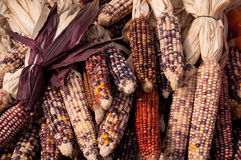 Maize. Corn is bundled for sale Royalty Free Stock Images
