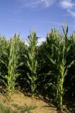 Maize. The plant of maize against blue sky Royalty Free Stock Photos