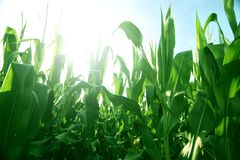 Maize Royalty Free Stock Photography