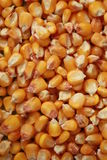 Maize. A background of corn beans Royalty Free Stock Images