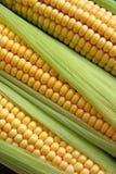 maize Arkivbild