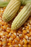 Maize. A background of corn beans and two cobs Stock Image
