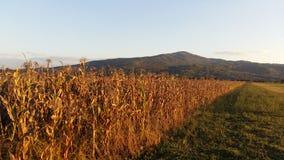maize Fotografia de Stock