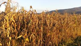 maize Fotos de Stock