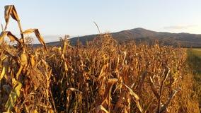 maize Imagens de Stock Royalty Free
