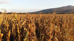 maize Foto de Stock Royalty Free