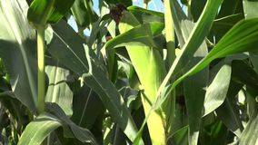 Maize, also known as corn. Is a cereal grain first domesticated by indigenous peoples in southern Mexico about 10,000 years ago. The leafy stalk of the plant stock video footage