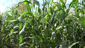 Maize, also known as corn. Is a cereal grain first domesticated by indigenous peoples in southern Mexico about 10,000 years ago. The leafy stalk of the plant stock footage