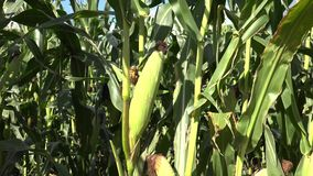 Maize, also known as corn. Is a cereal grain first domesticated by indigenous peoples in southern Mexico about 10,000 years ago. The leafy stalk of the plant stock video